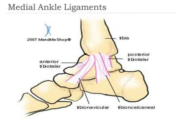 Medial ankle ligaments Credit MendMe