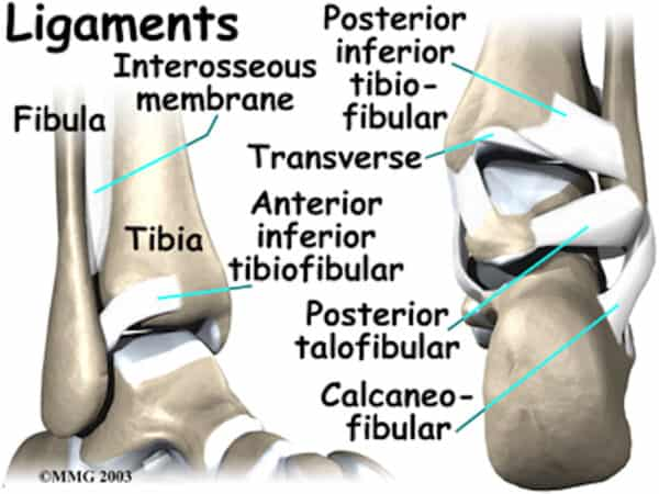 Syndesmotic Ligaments 1